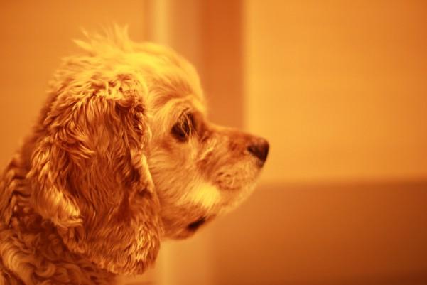 横顔がりりしい犬